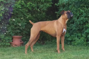 Delta the Boxer standing in her yard